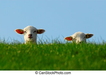 cute lambs in spring - funny image of a cute lambs in spring