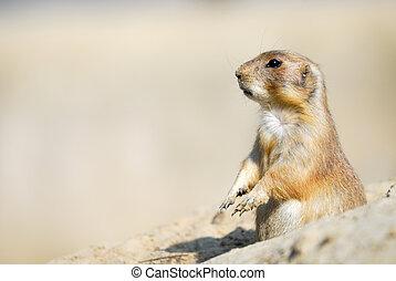 prairie dog - close-up of a cute prairie dog