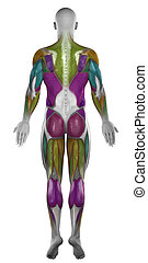Male posterior muscles map colorized isolated