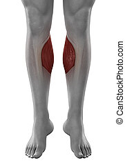 Gastrocnemius male muscles anatomy anterior view isolated