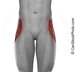 Tensor fasciae lateae male muscles anatomy anterior view...
