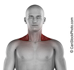 Trapezius male muscles anatomy anterior view isolated
