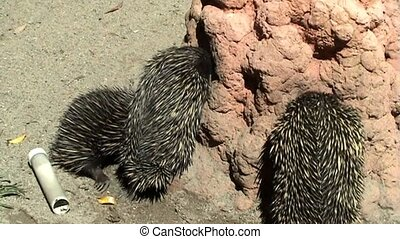Australian Echidnas - Echidnas looking for food ants