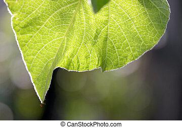 bottle gourd leaf. - bottle gourd leaf with the morning...