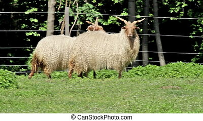 Two beautiful hungarian sheep - Two beautiful hungarian...