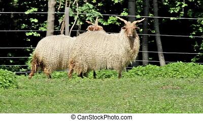 Two beautiful hungarian sheep - Two beautiful hungarian...