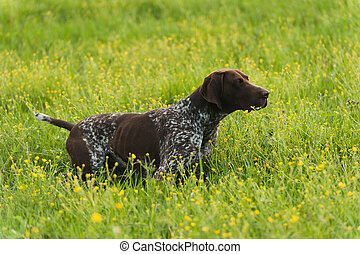 Kurzhaar on green grass - Gun dog on green grass,...