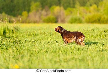 Kurzhaar on green grass - Gun dog on green grass,...