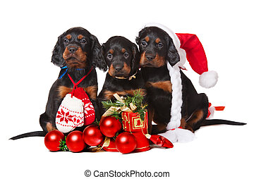 three serrers puppies over white, xmas - Three Setters...