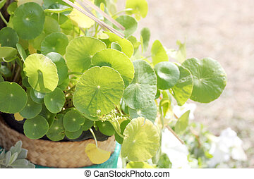 Centella asiatica in jardiniere. - Green Leaf of Centella...