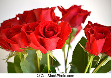 Red Roses - dozen red roses against white background