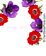 Poppy Anemone Background with space for text