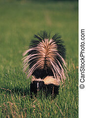 Striped Skunk - a striped skunk in grass with tail up