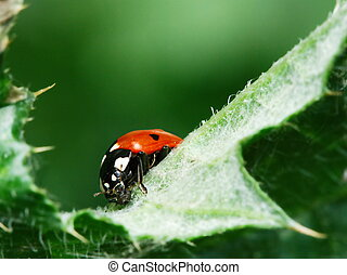 Red ladybugs and aphid