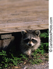 Curious Raccoon - a curious raccoon peers out from under a...
