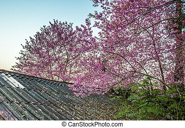 Wild Himalayan Cherry flower blossom on the roof