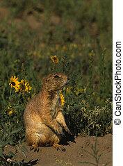 Prairie Dog - a prairie dog stands outside its burrow
