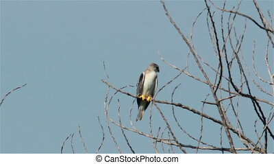 Black Shouldered Kite Eagle (Elanus axillaris) on a dead...