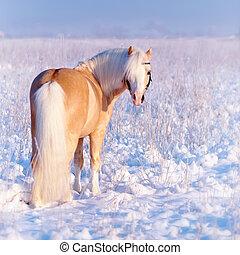 Stallion on walk - Portrait of a beige pony in the field in...