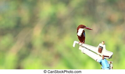 Kingfisher And Tractor With Sound - White Throated...