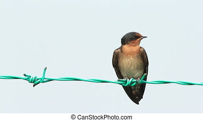 Swallow On The Fence 2 - Little Swallow bird on the fence in...