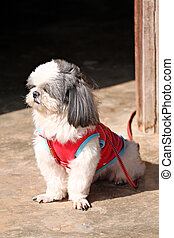 Shih tzu Dogs are sit. - Shih tzu Dogs are sat looking...
