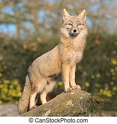 Fox on a rock - Light brown fox satnding on a rock and...
