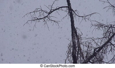 Falling Snow - From the sky slowly falling snow flakes on a...