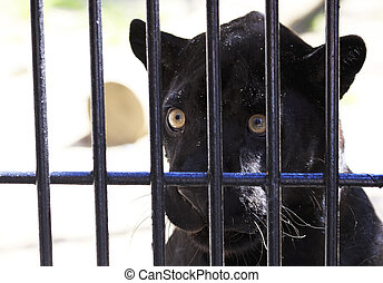 Black Panther looks wistfully out of the cage. Novosibirsk...