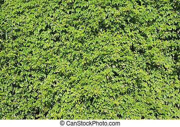 Wall of vines - A lush, green wall of vines covers every...