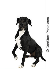 Great dane with leg up - Primo a black great dane pose for...