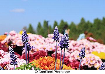 campo, roxo, salvia, flores