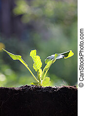Vegetables sprout of Collard. - Vegetables sprout of Collard...