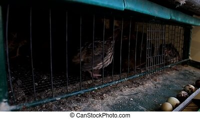Japanese quail in - domestic poultry Japanese quail in farm...