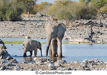 Elephants in Etosha - Young Elephants drink water at...