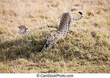 Cheetahs Masai Mara Reserve Kenya Africa - Cheetahs in the...
