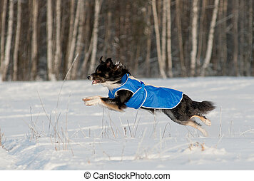 Border Collie run in winter