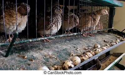 japanese quail eating food  in cage