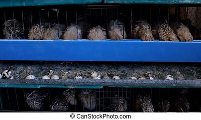 japanese quail and eggs in cage