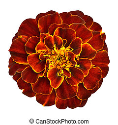 Red Orange Marigold Flower Isolated on White Background