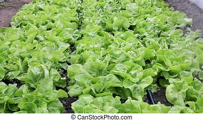 Agriculture, lettuce watering - Agriculture, watering of...