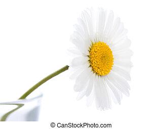 singel daisy 4 - Daisy flower isolated on a white...