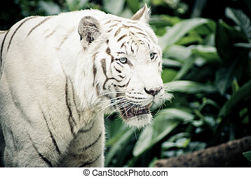 white tiger - white stripe tiger in singapore zoological...
