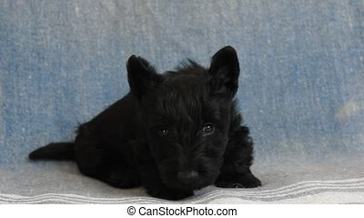Scottish Terrier puppy
