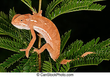 Flap-neck chameleon (Chamaeleo dilepsis) on the leaves of an...