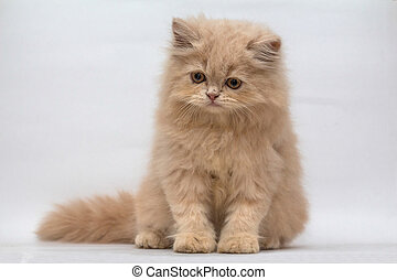 Persian cat, sitting on white background
