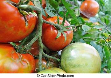 close-up of ripening tomato  in the vegetable garden