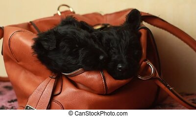 two Scottish Terrier puppy in Handbags