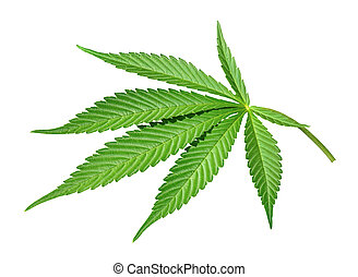 Marijuana leave isolated on white background