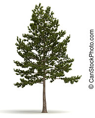 Single Pine Tree (isolated white background)